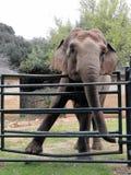 Elephant Lanka, Brijuni (Brioni), Croatia. A female elephant Lanka in sorrow after the death of her male elephant  Sony, Brijuni (Brioni&#x29 Royalty Free Stock Images