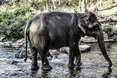 Elephant in Laos. Royalty Free Stock Photography