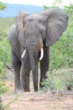 Elephant. A large male African Elephant Royalty Free Stock Images