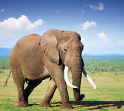 Elephant with large tusks. Addo National Park stock photography