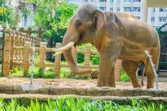 Elephant with large tusks Stock Image