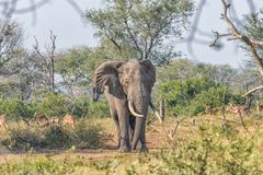 Elephant with large tusks in Mpumalanga in South Africa. An african elephant, with large tusks and a large notch in the right ear, in the Mpumalanga Province of royalty free stock photography