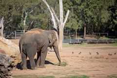 An Elephant Using His Trunk To Eat Leaves. The elephant is the largest living terrestrial animal in the world royalty free stock photo