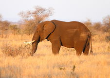 Elephant in late sun Royalty Free Stock Photography