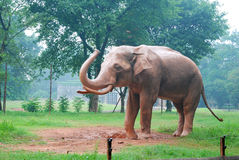 Elephant on the lawn stock image