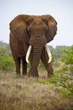 Elephant Leader Stock Photo