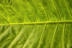Elephant ear leaf Royalty Free Stock Images