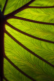 Elephant leaf backlighted Stock Photography