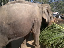 The elephant, the leaves. An elephant in the trunk is carrying food Royalty Free Stock Photo