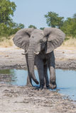 Elephant leaving water hole with turned head Stock Images