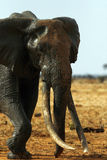 Elephant Leaving The Watering Hole Stock Image