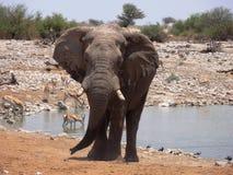 Elephant leaving watering hole. Namibia Stock Image