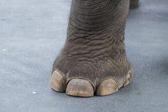 Elephant leg. Big elephant leg and toe on cement road stock image