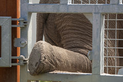 Elephant leg for care Stock Images
