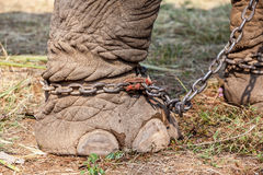 Elephant leg Stock Photography
