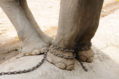 Elephant legs be chained, freedom Stock Images