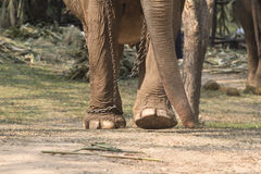Elephant with legs in a chains Royalty Free Stock Image