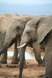 Elephant life style in South Africa Stock Images