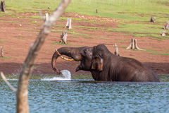 Elephant lifting water Stock Photos