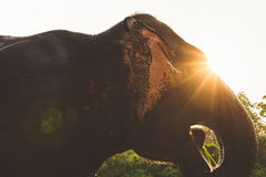 Elephant in the light of the sun. Laos Royalty Free Stock Photo