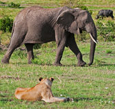 Elephant & Lion on the Masai Mara. A lion keeps a close watch on an elephant walking close by. Seconds later the elephant charged the lion Royalty Free Stock Image