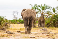Elephant. A lonely elephant in Botswana Royalty Free Stock Images