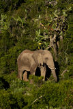 Elephant. Lonely elephant in the jungle Stock Photos