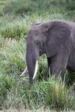 Elephant in the long grass Stock Photos