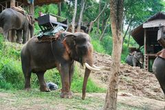 Elephant with long tusk Stock Photography