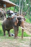 Elephant with long tusk Stock Photos