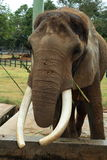 Elephant with long tusks Stock Image