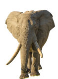 Long tusks Elephant  Stock Image