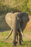 Elephant with long tusks Royalty Free Stock Photography