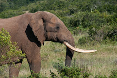 Elephant with long tusks Royalty Free Stock Images