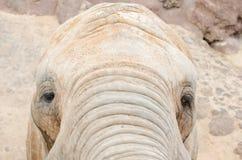 Elephant looking at camera. Horizontal photo Royalty Free Stock Photos