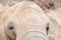 Elephant looking at camera. Horizontal photo Stock Photography