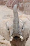Elephant looking at camera. Elephant looking at camera, vertical photo Royalty Free Stock Image