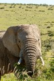 Elephant looking and eating on branches Royalty Free Stock Photography
