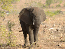 Elephant looking for food during a drought. Elaphant looking for food during a drought in Kruger National Park located in South Africa stock image