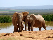 Elephant Love. Elephant couple cuddling by a waterhole at the Addo Elephant National Park, South Africa stock photo