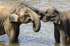 Baby elephant, Elephas maximus, hug mother with trunk. Elephant love, baby hug mother with trunk stock photo