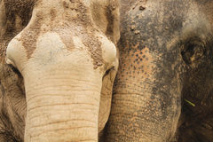 Elephant in love Stock Image
