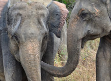 Elephant Love. Elephant putting its trunk in others mouth as a show of affection. Wasgamuwa , Sri Lanka stock images