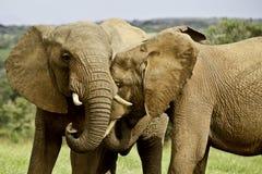 Elephant love Stock Photo