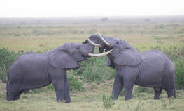 Elephant Love Stock Images