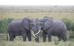 Elephant Love Royalty Free Stock Image