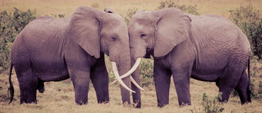 Elephant Love Stock Photo
