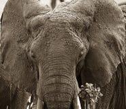 Elephant  (Loxodonta africana) Stock Photos