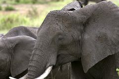 Elephant  (Loxodonta africana) Stock Photo