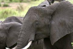 Elephant  (Loxodonta africana) Stock Photo